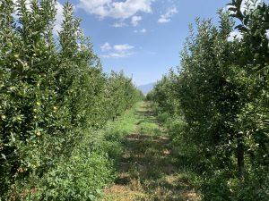 Walnut Farmlands and Harvesting