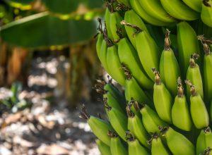 Banana Greenhouse in Antalya